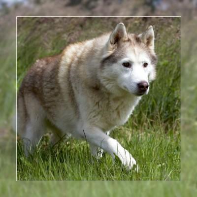 elevage husky