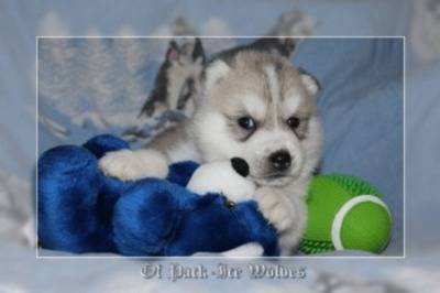 husky a vendre - elevage de chiot of pack-ice wolves