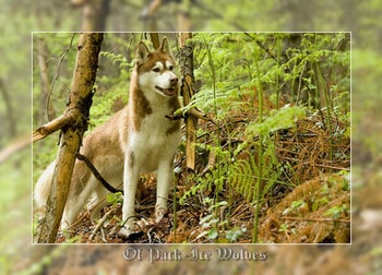 eleveur husky - elevage of pack-ice wolves