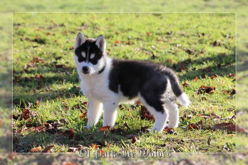 bebe-husky-chiot-husky-siberien-8-semaines-024