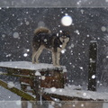 Eyes shadow magik dit Loup Of pack-ice wolves