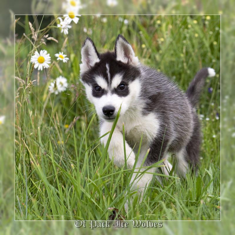 husky siberien prix