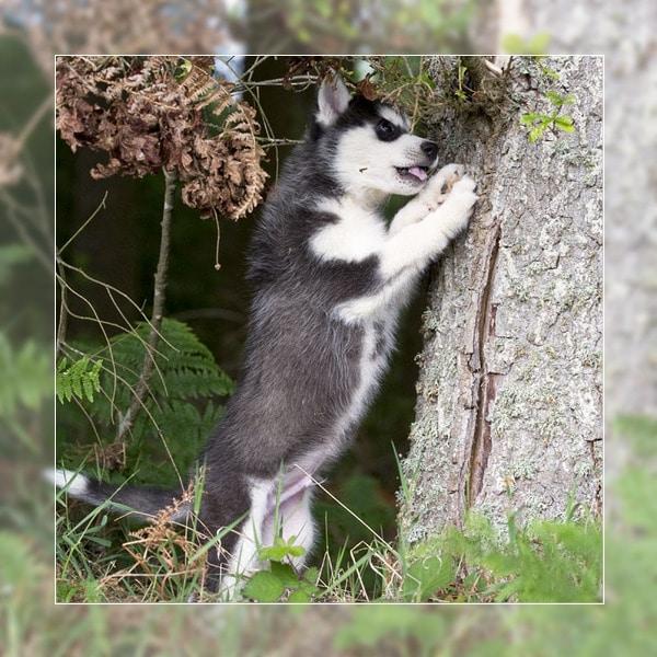 socialisation du chiot husky siberien