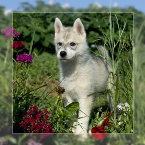 éducation husky