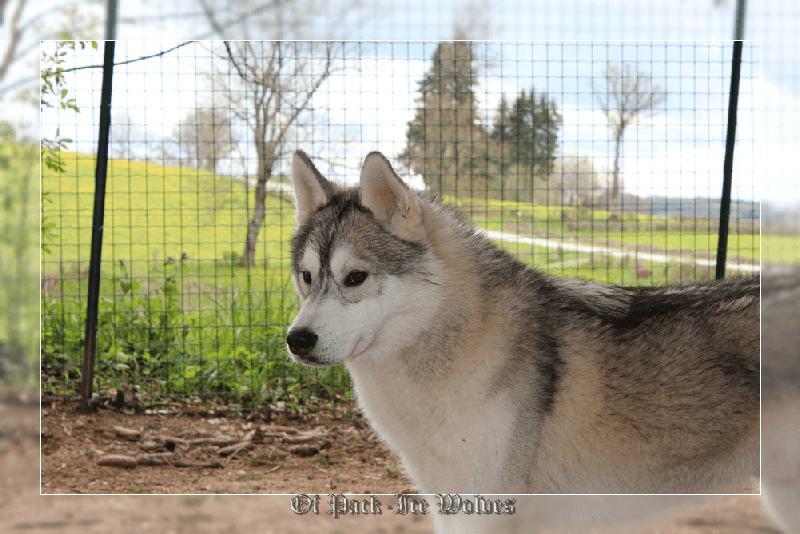 husky chiot