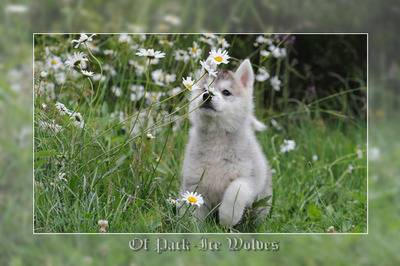 acheter chiot husky