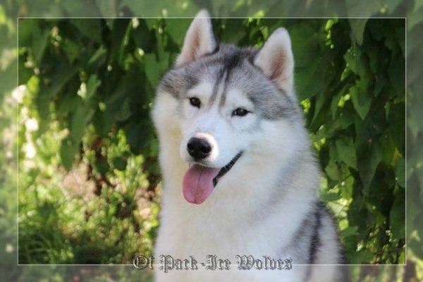 sibérian husky gris