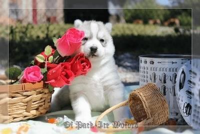 éducation chiot husky