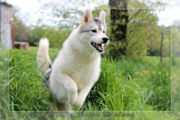 husky de Sibérie gris et blanc