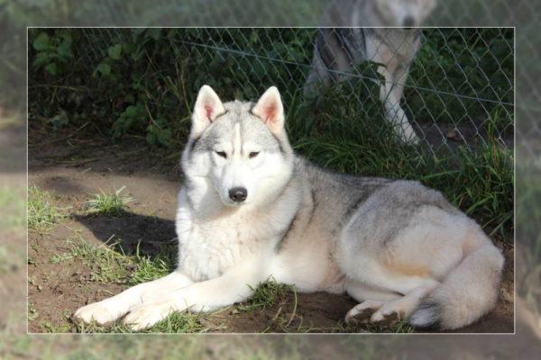 femelle husky de Sibérie grise