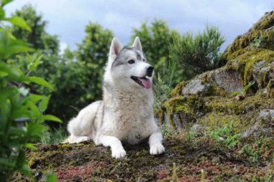 élevage de husky