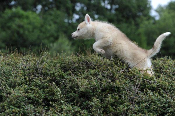 trouver chiot husky
