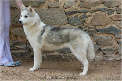 petit husky