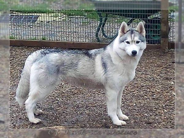 husky de sibérie gris