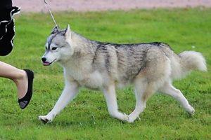 husky grise et blanche