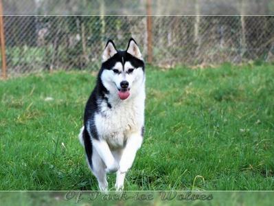 husky noir et blanc
