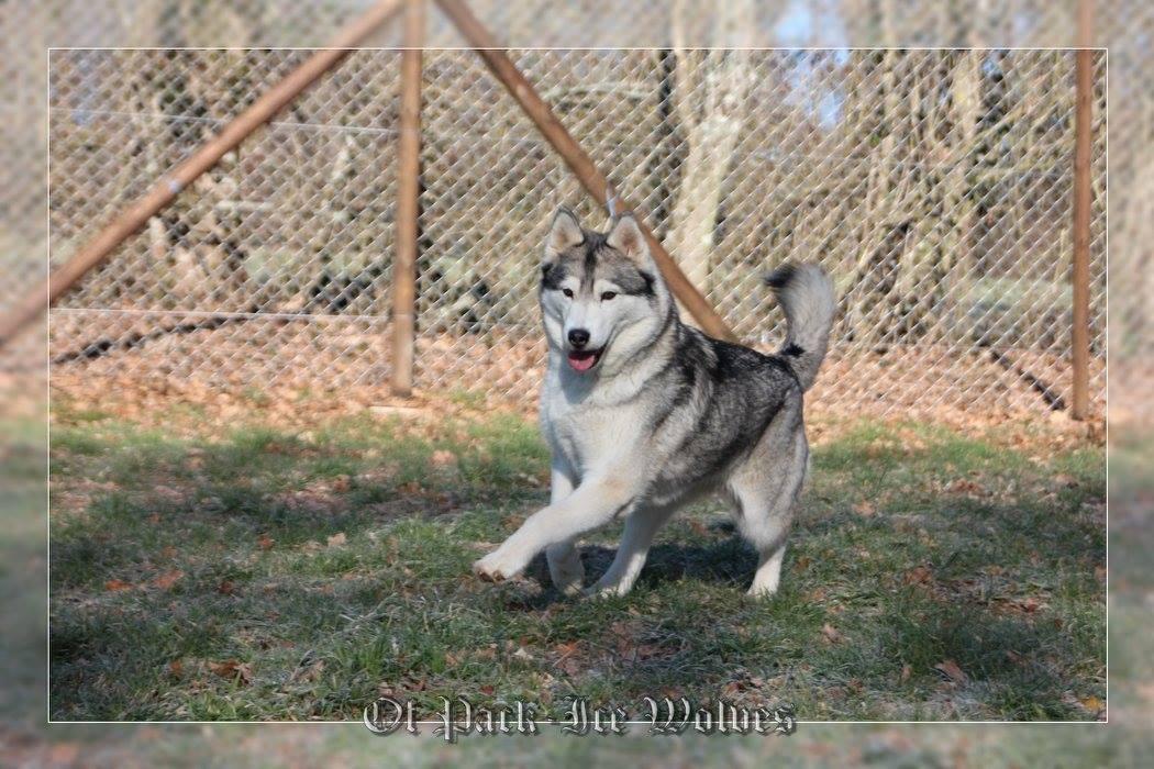 husky gris et blanc