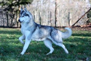chercher chiot husky