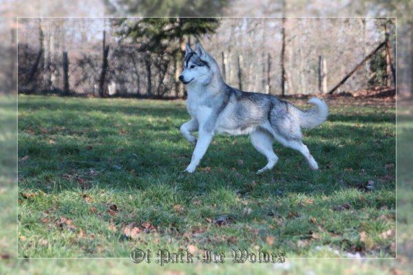 chien husky gris