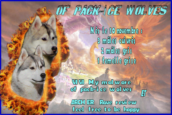 achat chiot husky