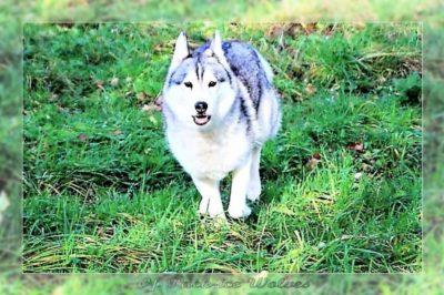 husky de siberie gris