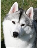 portrait husky gris