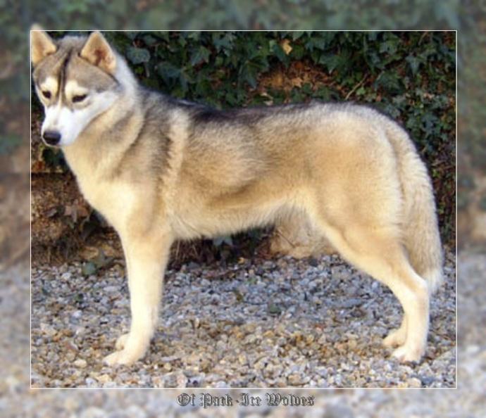 siberian husky grise et blanche
