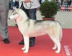 chien femelle husky grise