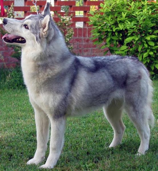Husky sibérien femelle
