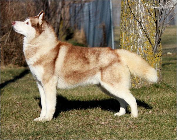 chien de race husky de siberie