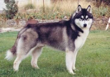chien husky siberien noir et blanc