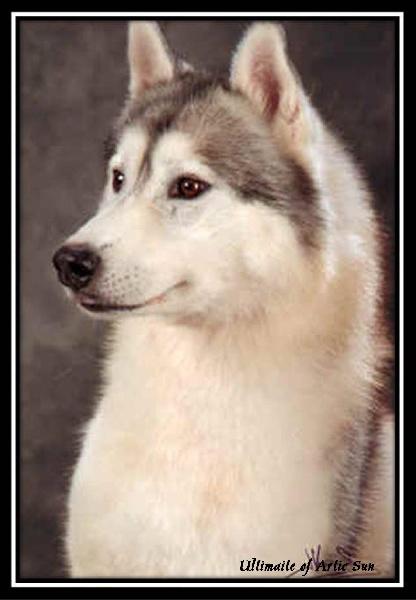 mâle husky sibérien gris et blanc