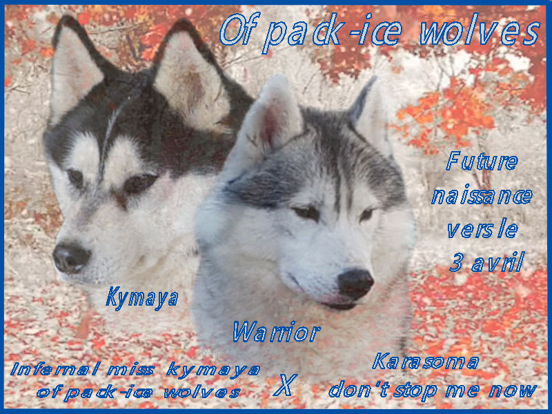naissance de chiots huskies